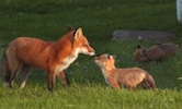 Foxes Western Illinois